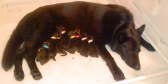 The latest recruits at Essex Police's Dog Unit arrived on Wednesday when German Shepherd Flame gave birth to eight puppies